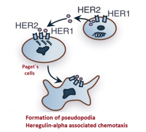 Fig. 3 The mechanism of epidermotropism of Paget cells.